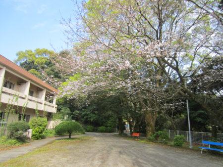 いしき園の庭のソメイヨシノ