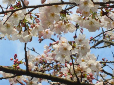 こん桜を連れていこごちゃっ。