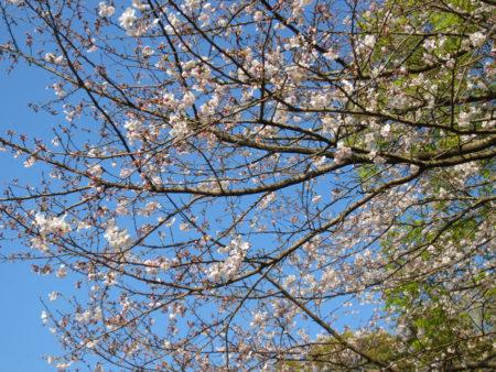 今年の桜は、またきれいだねぇ。