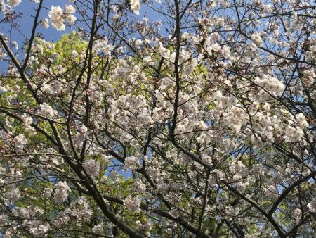 その思い出を心に刻みながら、咲き急ぐ桜とのひとときを、穏やかに愛おしんでおられるように感じました。