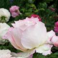 初夏を彩る薔薇の花々にうっとり