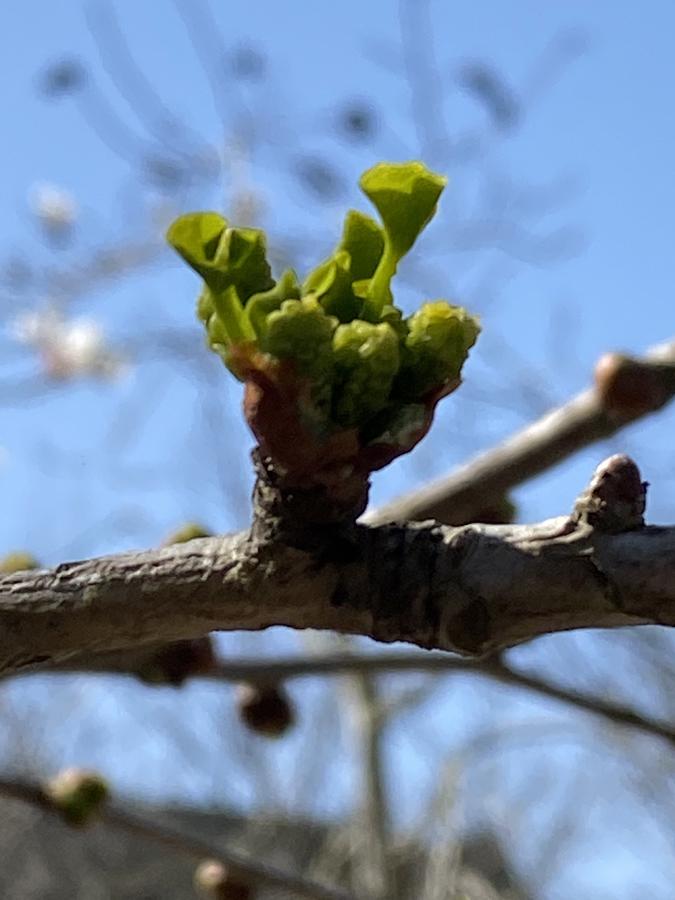 小さいながらも、ちゃんとイチョウの葉の形をしています。こんなに間近で見たことがなかったので、感動しました。