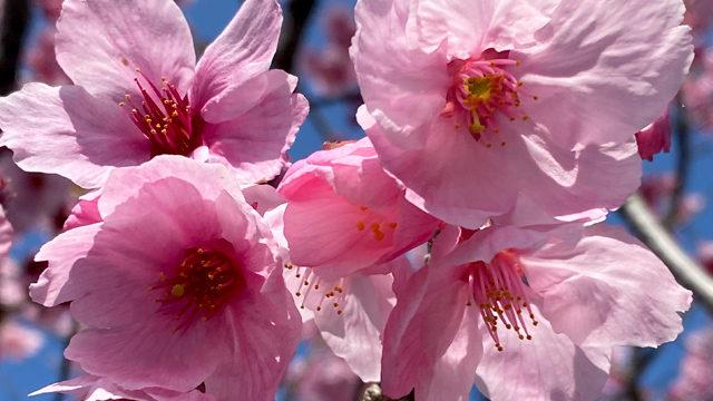 春を探しに観音ヶ池公園~串木野麓~照島へ 気晴らしお散歩しませんか!