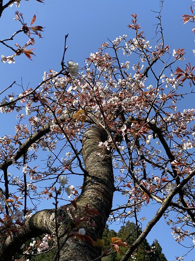 観音ヶ池公園には、まだ咲いているヤマザクラがありました。