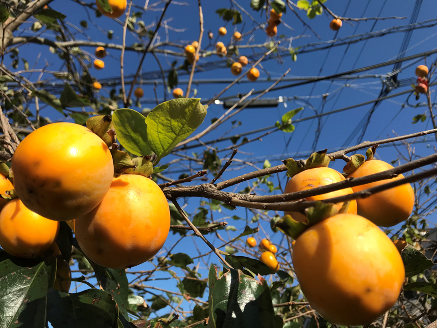 干し柿には、渋柿が向いています