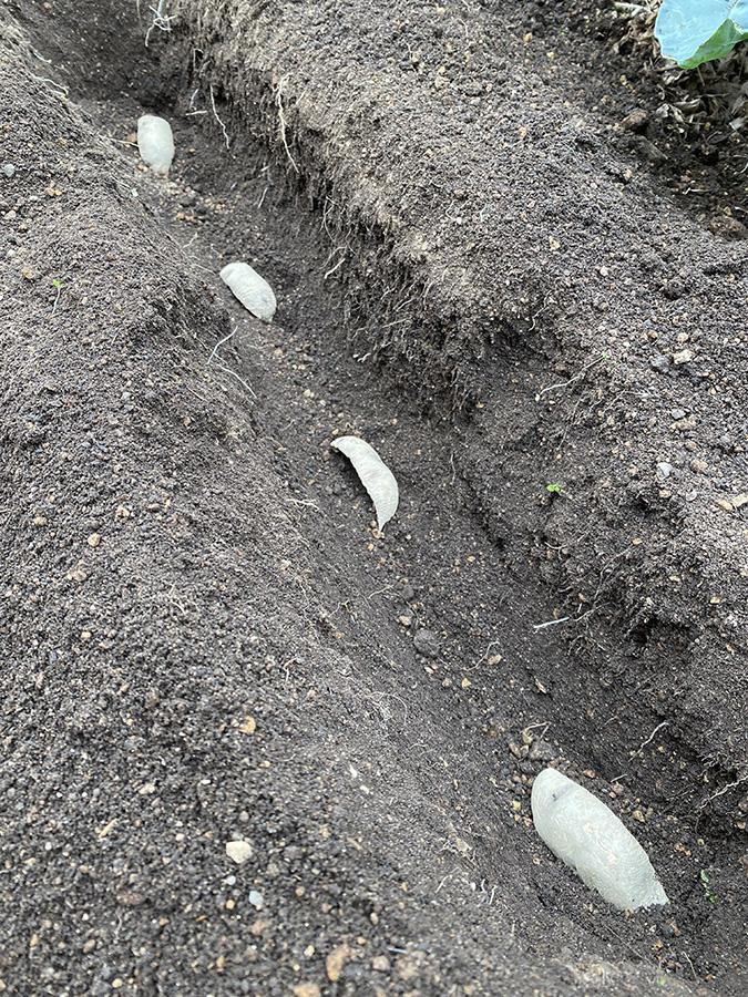 種芋を4つに切り分けて植えました