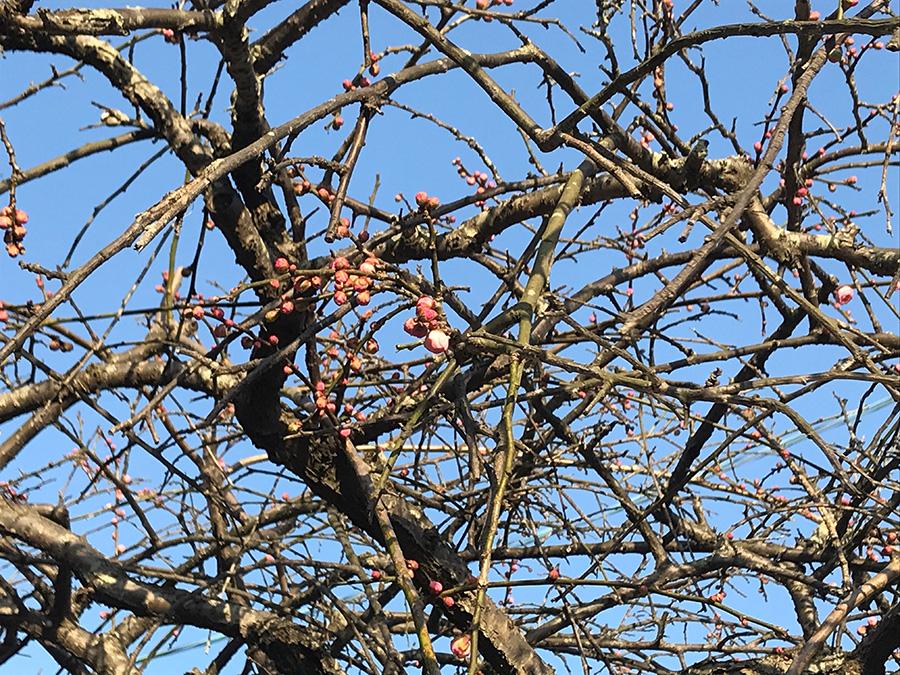 今年も真っ先に春の訪れを教えてくれたのは、庭の梅の花でした。