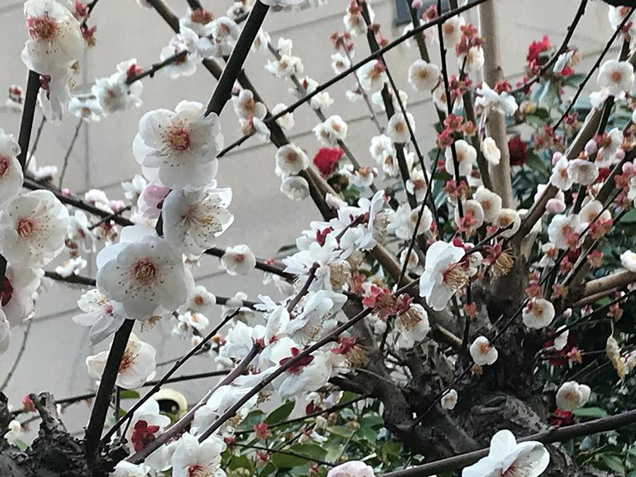 ここだけが別世界…あたたかな春の空気に包まれていて、今年の梅は圧巻でした。