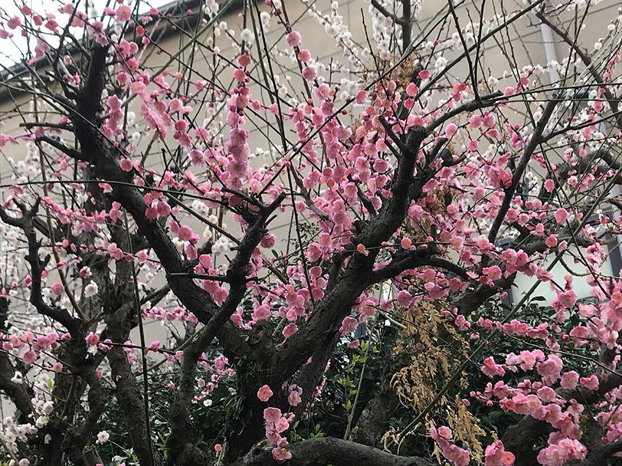 梅の花が、松本憲融前住職にこれまでのお礼返しをしているように感じられて、思わず胸が熱くなりました。