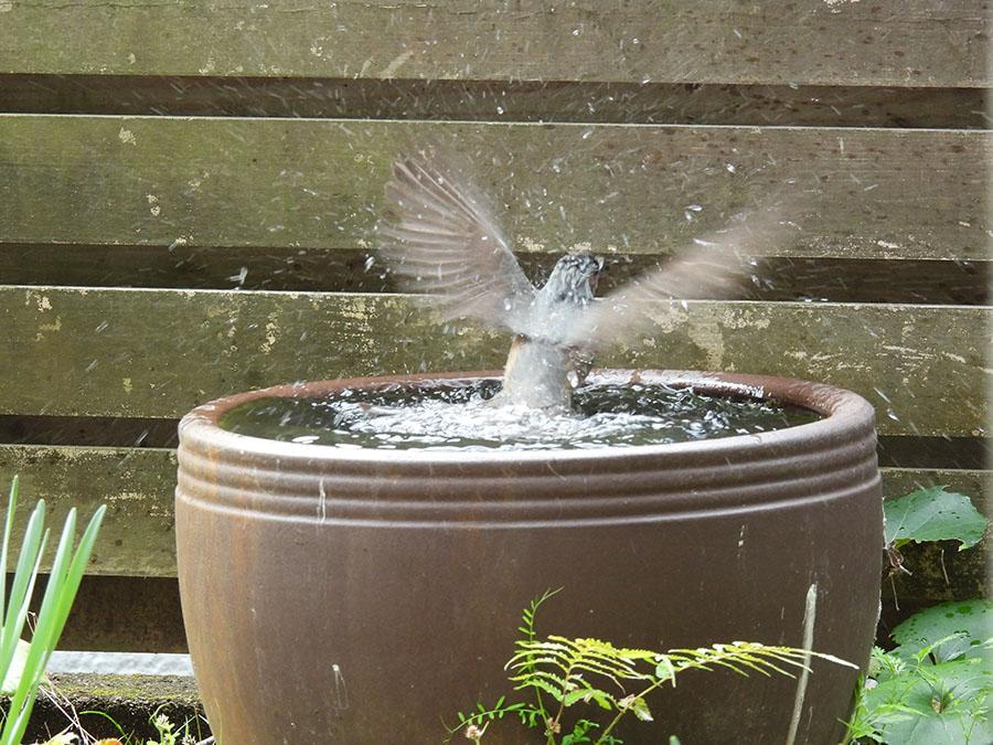 水浴びをするヒヨドリ
