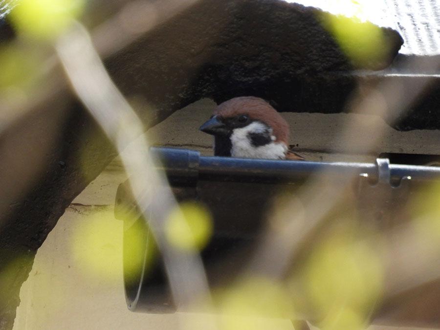 巣から出ようと慎重に顔を出すスズメ