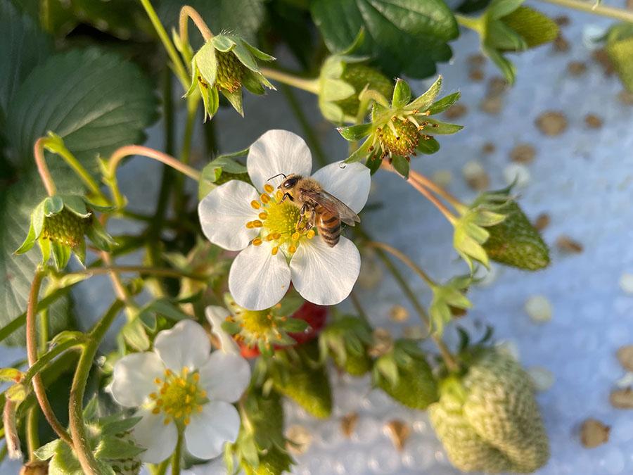 イチゴの花にとまるセイヨウミツバチ(勇気さん撮影)