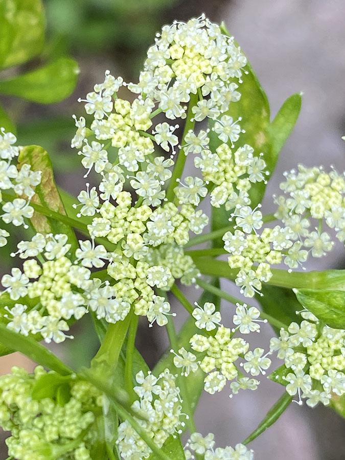 直径3ミリほどの可憐な小花がいっぱい